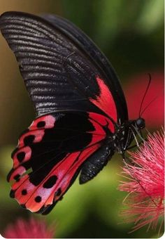 Papilio Rumanzovia butterfly, or more known as the Scarlet Mormon --- A Giant Swallowtail. From the Philippines. Papilio Rumanzovia butterfly, or more known as the Scarlet Mormon --- A Giant Swallowtail. From the Philippines. Papillon Butterfly, Butterfly Kisses, Butterfly Flowers, Madame Butterfly, Butterfly House, Monarch Butterfly, Buckeye Butterfly, Butterfly Wings, Flying Flowers