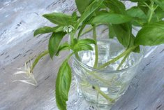 Growing herbs from cuttings