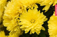 Find help & information on Chrysanthemum 'Conaco Yellow' (PBR) chrysanthemum 'Conaco Yellow' from the RHS Love Flowers, Yellow Flowers, Crysanthemum, Mums The Word, Variegated Plants, Garden Types, Winter Colors, Container Plants
