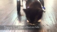 #MiracleKitten Cassidy's first steps in his tiny wheelchair