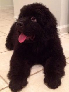 Brody the Newfoundland-So Cuddly! Beautiful Newfie!