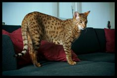 Most Expensive Cat Breed | wp55955eb7 05 06 300x202 Worlds Most Expensive Cat! # THE ASHERA $22,000