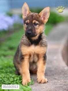Rosie the German Shepherd Puppy for Sale