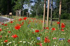 Klatschmohn, Margerite und Kornblume blühen am Wegesrand im Juli