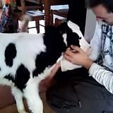 Calf goes into the house looking for cuddles - Imgur