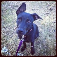 Remax is an adoptable Black Labrador Retriever Dog in Pelham, NH. Remax is a 7 month old black lab.  He is very sweet and was saved recently from a high kill shelter in miami. For more information, pl...