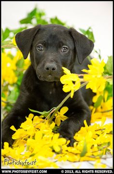 A black lab puppy in a pile of forsythia blossoms (spring dog). Love this photo? Re-pin it!