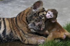 A baby rhesus macaque (Macaca mulatta) plays with a tiger cub at a zoo in Hefei