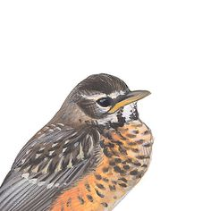American Robin, juvenile. Painted and © by David Sibley