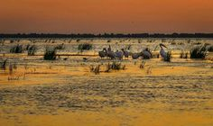 A group of white pelicans in the Danube Delta, Romania. Danube Delta, Romania, Vineyard, Places To Visit, Mountains, Sunset, Country, Travel, Outdoor