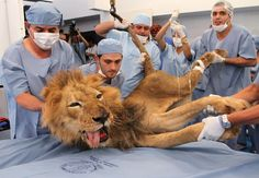 Saving a lion