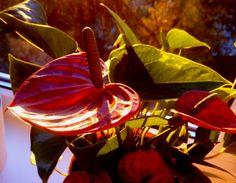#plant #red #morning #flower