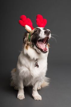 Sitting White and Brown Dog With Reindeer Headband · Free Stock Photo Pet Puppy, Pet Dogs, Reindeer Headband, Diy Holiday Cards, Christmas Cards, Best Dog Training, Brain Training, Buy Pets, Brown Dog
