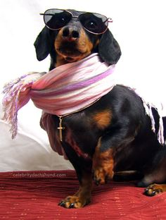 If I was a weiner dog, this would be me, but for now it is my Zues!