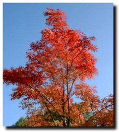 another Rowan Tree
