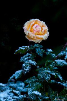 Snowy Rose #3- Mendocino County, Northern California