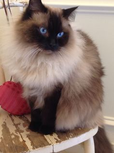 Lovely Ragdoll #cats #ragdoll