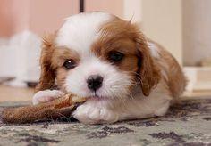 Como limpar xixi de cachorro