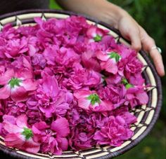 Rose of Sharon is one of the tastiest edible flowers. Pull apart the petals from the green base and add them to salad and salsa, or sprinkle them liberally as a garnish. Edible flowers are rich in flavonoids which are anti-oxidant, anti-inflammatory, cardio-protective and neuro-protective.