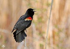 Red-Winged Blackbird, Nature Photography, Birds, Feathers, Avian, Fine Art Photography