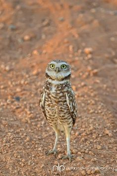 Burrowing owl, photo by Nate.  One of my favorites - look at that attitude!