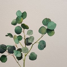 """""""Silver Dollar Eucalyptus,"""" a special favorite of mine; in arrangements, bouquets . So pretty and delicate. Watercolor Leaves, Watercolor Print, Watercolour Painting, Plant Illustration, Botanical Illustration, Botanical Drawings, Botanical Prints, Art Graphique, Painting Inspiration"""