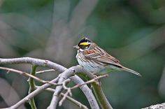 Emberiza chrysophrys/Yellow-browed bunting/キマユホオジロ/migrant bird