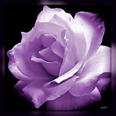 HONEY-AND-BEE Purple rose. I have grown this rose. It is more pale but hands down the most fragrant rose ever! Amazing Flowers, Beautiful Roses, My Flower, Purple Flowers, Red Roses, Beautiful Flowers, Purple Love, All Things Purple, Shades Of Purple