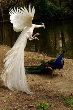 "The white peacock is like ""let's see how you like your colourful feathers scattered around.and the blue peacock is like ""WTF?"" Imagine the white peacock is Lord Shen XD Pavo Real Albino, Albino Peacock, Pretty Birds, Beautiful Birds, Animals Beautiful, Animals Amazing, House Beautiful, Animals And Pets, Funny Animals"
