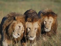 A trio of male lions in the Masai Mara. Taken from Governors' Camp. Lovely