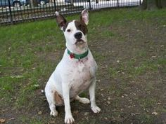 MILEY is an adoptable Pit Bull Terrier Dog in Boston, MA.