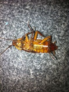 Roach found on 07/28/2014. Twitching when hit with flash. Don't go into the light, Carolanne!