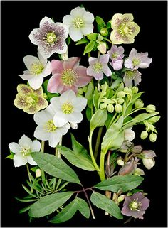Hardy Hellebores, Scanner Photography By Ellen Hoverkamp,... - Scanner Photography By Ellen Hoverkamp