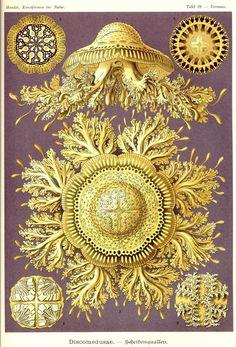 Jellyfish, Ernst Haeckel