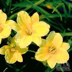 Hemerocallis 'Stella de Oro' growing conditions