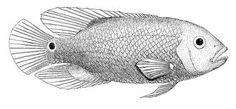 fish drawings - Google Search