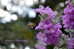 The Texas Sage is abundant with blooms around the City and the honeybee are overjoyed!  #glenrose  #texassage  #bees