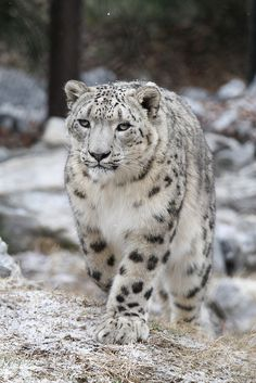 Snow Leopard | Flickr - Photo Sharing!