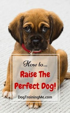 Do you want to learn about raising the perfect dog? Train your dog by learning to focus on what's important. Teach your puppy how to be calm and obedient with the tips in our article. #DogTraining