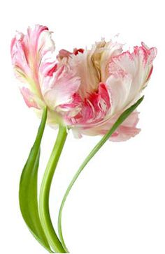 Pale Pink & White Parrot Tulip, lovely flowers for a pink and green wedding or pink and green party Parrot Tulips, Pink Tulips, White Tulips, Amazing Flowers, Beautiful Flowers, Tulip Painting, Spring Bulbs, Arte Floral, Growing Flowers