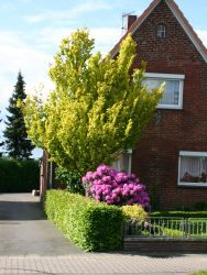 Goldulme 'Wredei' - Ulmus carpinifolia 'Wredei'. Vorzugsweise sonniger Standort. Tolles Blatt!