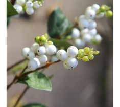 snowberries - Google Search