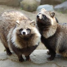 Japanese Raccoon Dog, Baby Animals, Cute Animals, Maned Wolf, Wild Dogs, Funny Animal Pictures, Spirit Animal, Pet Birds, Mammals