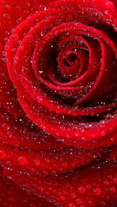 Pretty close up - My site Beautiful Rose Flowers, Beautiful Flowers Wallpapers, Exotic Flowers, Amazing Flowers, Pretty Flowers, Beautiful Beach, Blue Roses Wallpaper, Flower Phone Wallpaper, Red Aesthetic