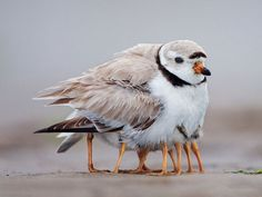 AMAZING: 25 Wonderful Parenting Moments in the Animal World That Went Viral: Piping Plover, Animals, Mother, Nature, Legs, Baby, Birds, Photo
