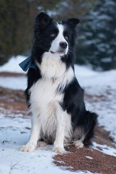 "My beautiful Border Collie boy New Gold Box Zion ""Toby""..Love him!!"