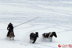 Stunning pics: Horses galloping on snow-covered grasslands