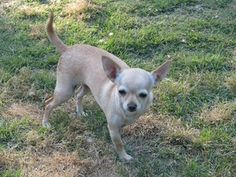 Tootie is an adoptable Chihuahua Dog in Franklin, TN. Tootie joined HCW from a rural shelter last year. She absolutely loves to play with other dogs. Tootie is spayed, heartworm negative, up to date o...