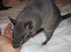 Little Abbey my Gambian Pouched Rats having a lick.....