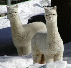 I thoroughly adore llamas. They're the most deep-tastic things alive. <3